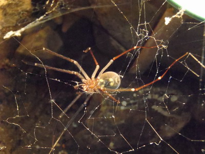 Maracoopa cave spider